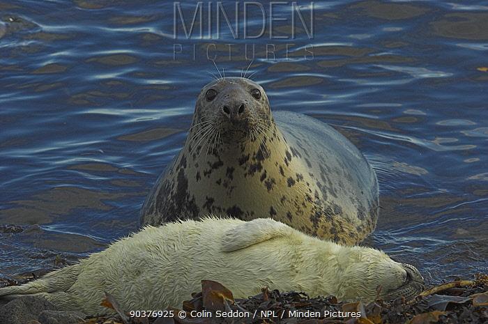 Grey seal (Halichoerous grypus) cow at waters edge watching sleeping pup, Scotland, November  -  Colin Seddon/ npl