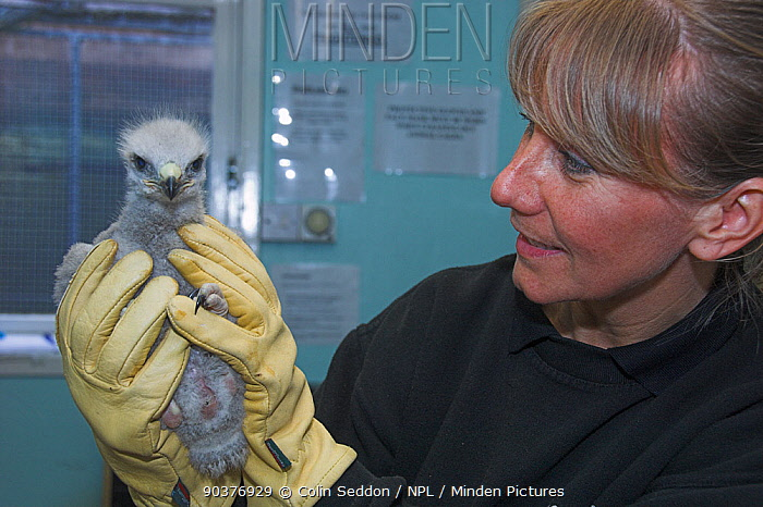 Woman holding Common buzzard (Buteo buteo) nestling in care, UK  -  Colin Seddon/ npl