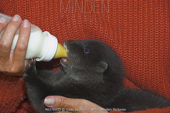 European river otter (Lutra lutra) cub in care, drinking from bottle, UK  -  Colin Seddon/ npl