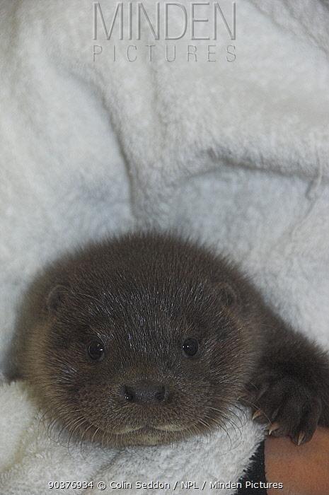 European river otter (Lutra lutra) orphaned cub in care, UK  -  Colin Seddon/ npl