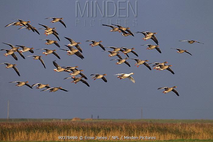 Greylag geese (Anser anser) flock in flight and single white plumage bird, Norfolk, UK  -  Ernie Janes/ npl