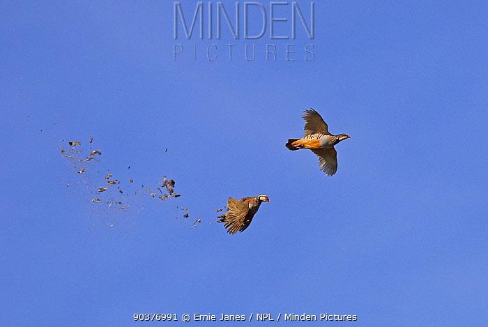 Red legged partridges (Alectoris rufa) driven on shoot, one has just been shot, UK  -  Ernie Janes/ npl