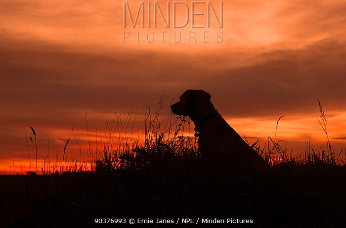 Yellow Labrador (Canis familiaris) silhouetted at sunset, UK  -  Ernie Janes/ npl