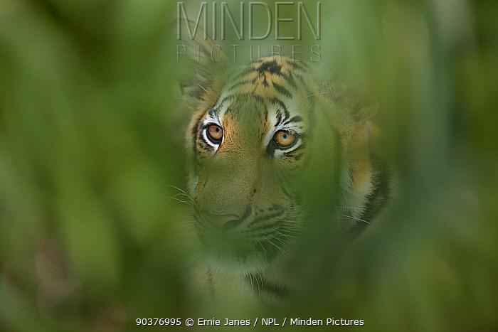 Bengal tiger (Panthera tigris tigris) looking through leaves, Thailand, captive  -  Ernie Janes/ npl