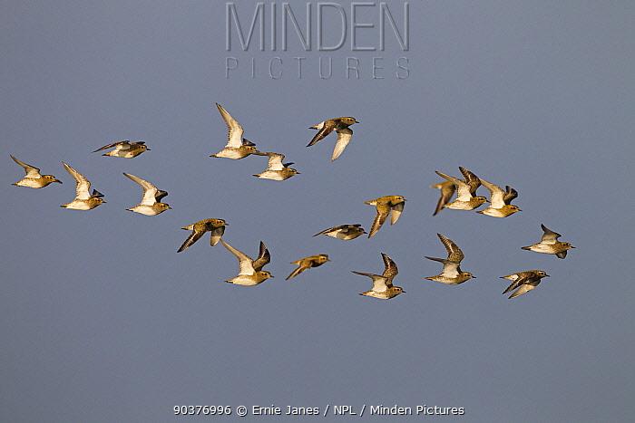 Golden plovers (Pluvialis apricaria) flock in flight, Cley, Norfolk, Autumn  -  Ernie Janes/ npl
