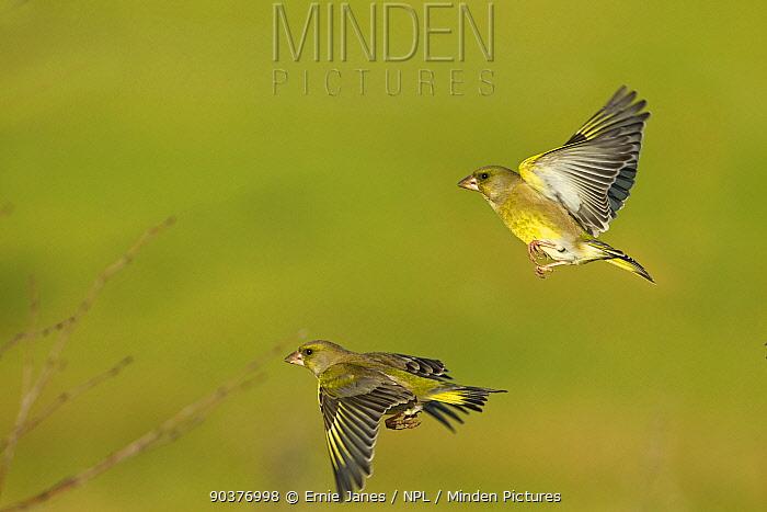 Greenfinches (Carduelis chloris) in flight, UK  -  Ernie Janes/ npl