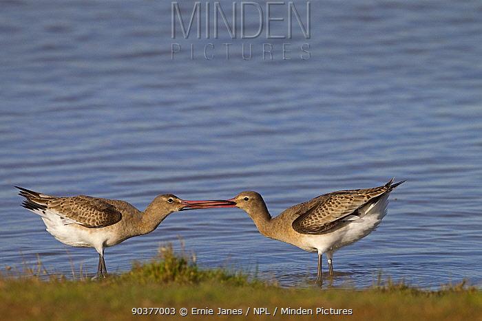 Black tailed godwits (Limosa limosa) fighting, Norfolk, UK Autumn  -  Ernie Janes/ npl