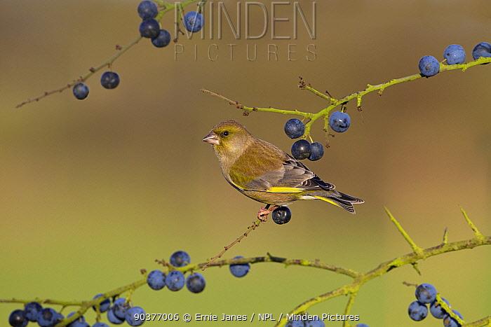 Greenfinch (Carduelis chloris) on blackthorn, sloe berries, UK  -  Ernie Janes/ npl