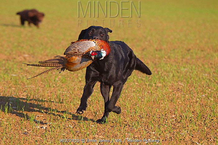 Black Labrador dog (Canis familiaris) retrieving cock pheasant on shoot, UK  -  Ernie Janes/ npl
