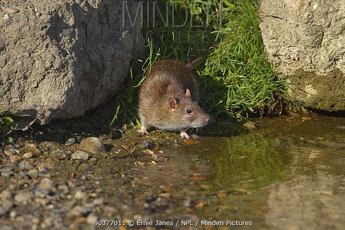 Brown rat (Rattus norvegicus) at duck pond in Norfolk, UK  -  Ernie Janes/ npl