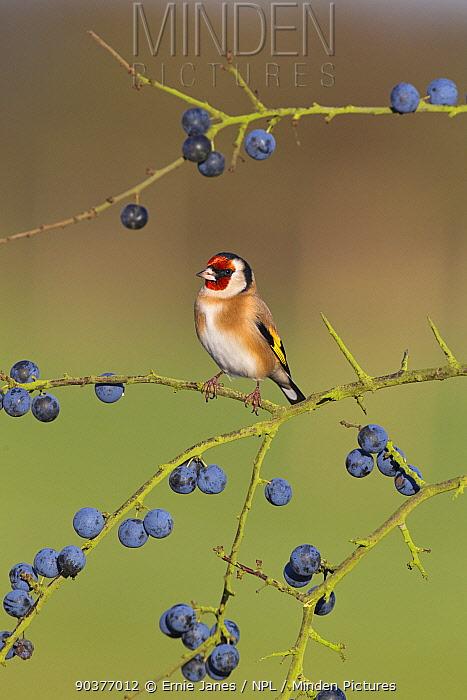 Goldfinch (Carduelis carduelis) on Blackthorn, sloe branch with berries, UK  -  Ernie Janes/ npl
