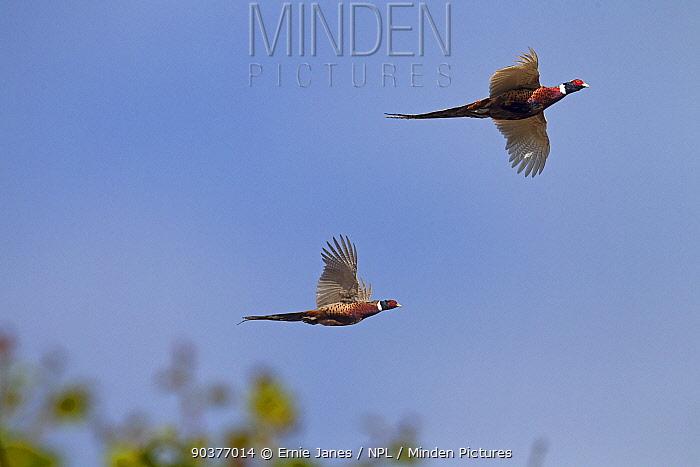 Cock pheasants (Phasianus colchicus) driven on shoot, UK  -  Ernie Janes/ npl