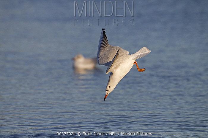 Black headed gull (Larus ridibundus) diving into the water to feed, Norfolk, UK  -  Ernie Janes/ npl