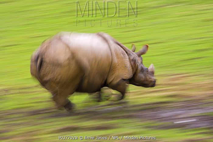 Indian rhinoceros (Rhinceros unicornis) charging, captive  -  Ernie Janes/ npl