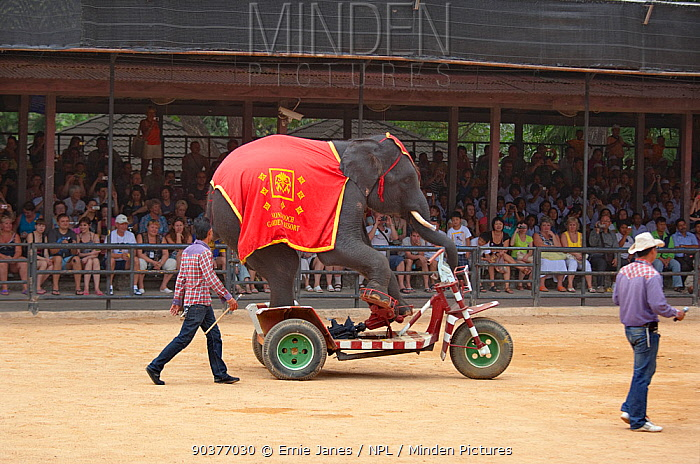 Indian elephant (Elephas maximus) riding motor bike at show in Thailand Zoo  -  Ernie Janes/ npl