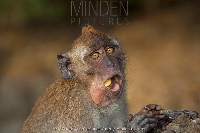Crab eating macaque (Macaca fascicularis) feeding on beach, Southern Thailand  -  Ernie Janes/ npl