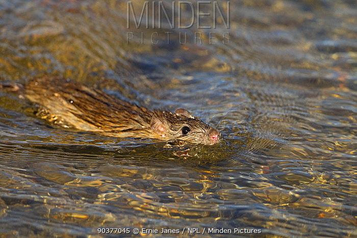 Brown rat (Rattus norvegicus) swimming in duck pond Norfolk, UK  -  Ernie Janes/ npl