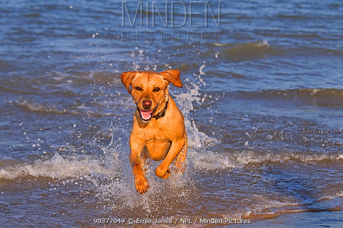 Yellow Labrador in action along the beach, UK  -  Ernie Janes/ npl