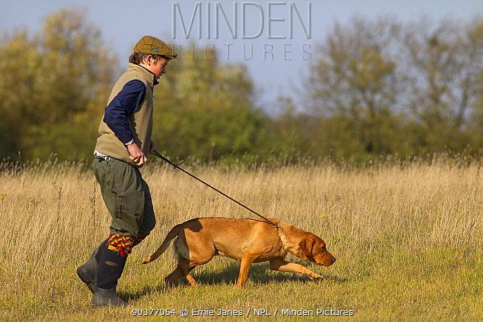 Yellow Labrador on lead retrieving on pheasant shoot, UK  -  Ernie Janes/ npl