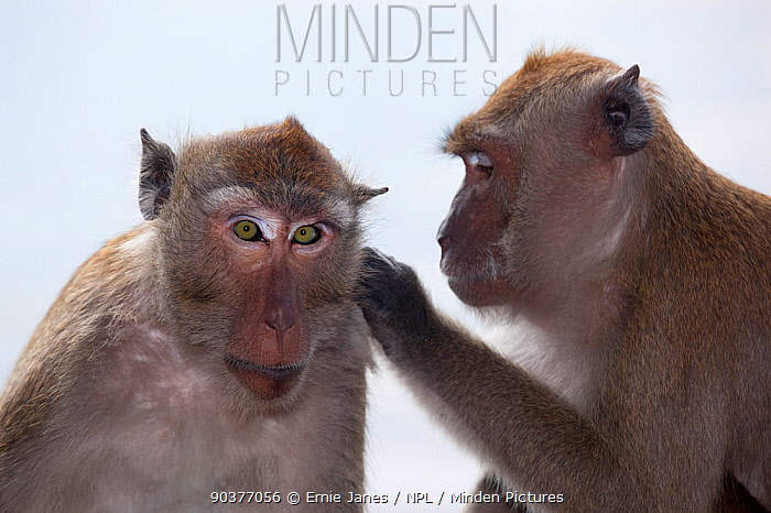 Crab eating macaque (Macaca fascicularis) grooming another, Southern Thailand  -  Ernie Janes/ npl