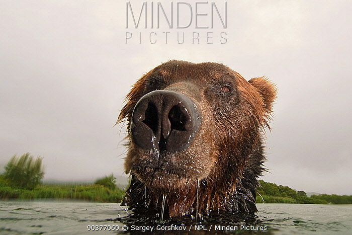 NOT FOR WEBSITE Close-up of Brown bear (Ursus arctos) in lake, Kamchatka, Far east Russia, August  -  Sergey Gorshkov/ npl