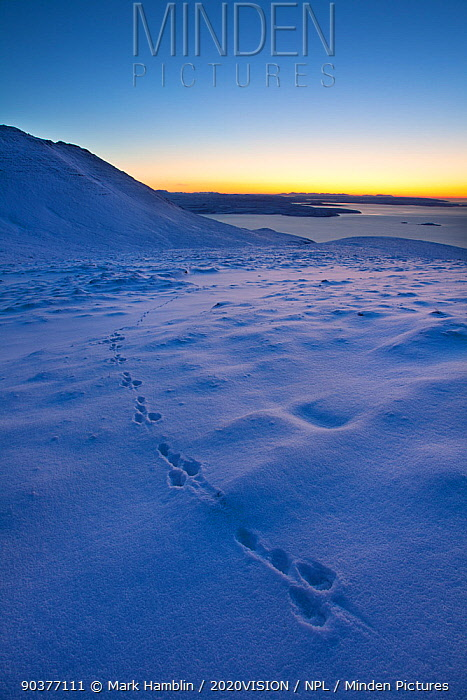 Mountain hare (Lepus timidus) footprints in snow, Coigach, Wester Ross, Scotland, UK, December 2010  -  Mark Hamblin/ 2020V/ npl