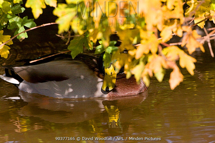 Male Mallard duck (Anas platyrhynchos) amidst autumnal Field maple leaves, Union Canal, Shropshire, UK, November  -  David Woodfall/ npl