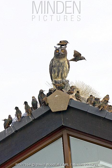 Common starlings (Sturnus vulgaris) roosting around a model owl meant to scare off Starlings from roosting on buildings, UK, November  -  David Woodfall/ npl