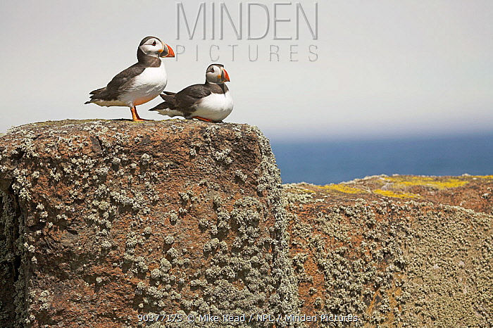 Atlantic puffin (Fratercula arctica) two resting on wall, Isle of May National Nature Reserve, Firth of Forth, Scotland June  -  Mike Read/ npl
