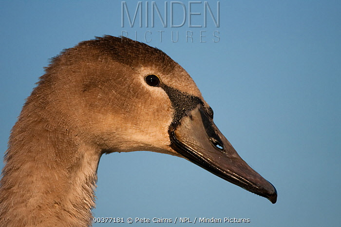 Mute Swan (Cygnus olor) juvenile in profile Fife, Scotland, November  -  Pete Cairns/ npl