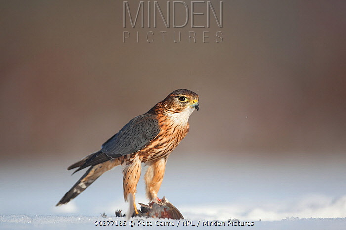 Merlin (Falco columbarious) male with prey in snow Scotland, February  -  Pete Cairns/ npl