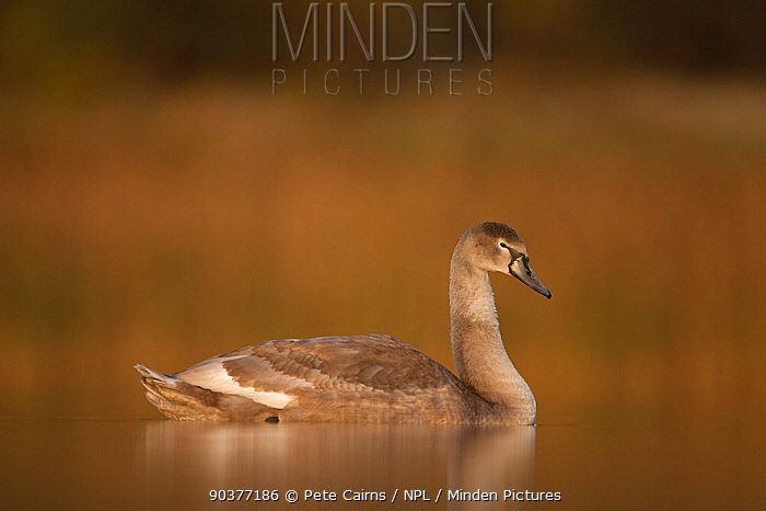 Mute Swan (Cygnus olor) juvenile on water Fife, Scotland  -  Pete Cairns/ npl