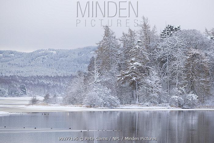 Waterfowl on Loch Insh in winter Scotland, December 2009  -  Pete Cairns/ npl