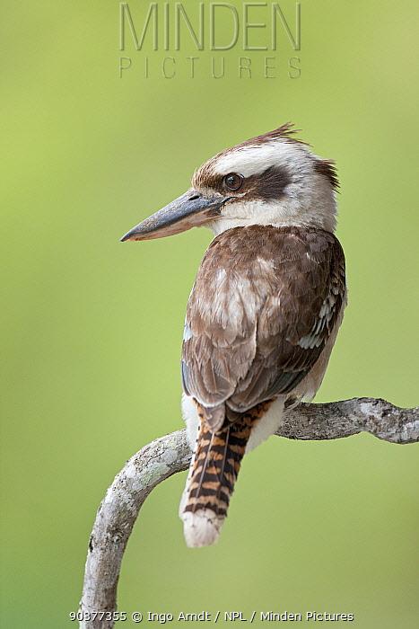 Laughing Kookaburra (Dacelo novaeguineae) Queensland, Australia, December  -  Ingo Arndt/ npl