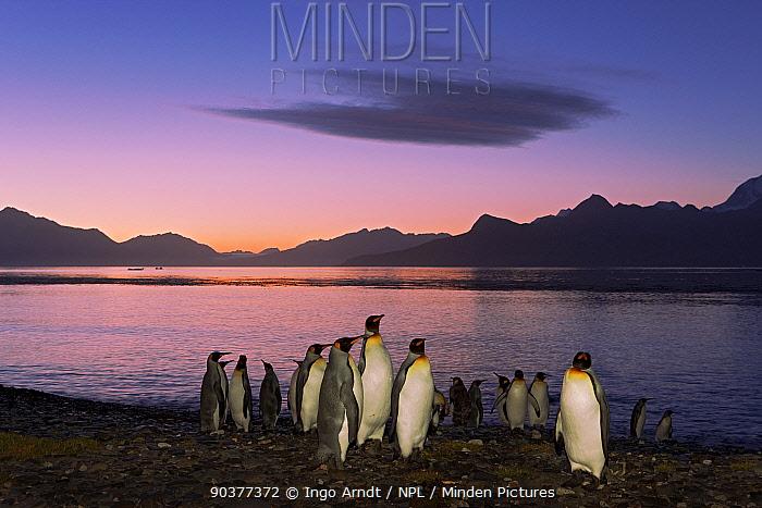 King Penguin (Aptenodytes patagonicus) group at sunrise, King Edward Point, South Georgia Island, March  -  Ingo Arndt/ npl