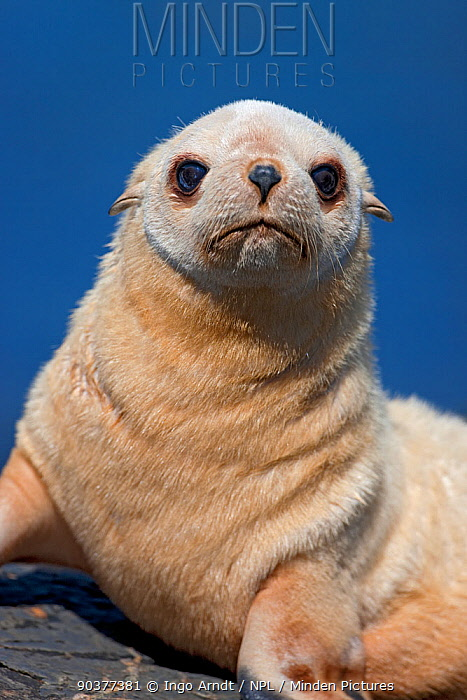 Antarctic Fur Seal (Arctocephalus gazella) pup blonde morph, South Georgia, February  -  Ingo Arndt/ npl