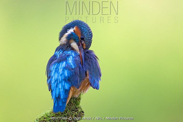 Kingfisher (Alcedo atthis) perched on branch preening, Hessen, Germany, october  -  Ingo Arndt/ npl
