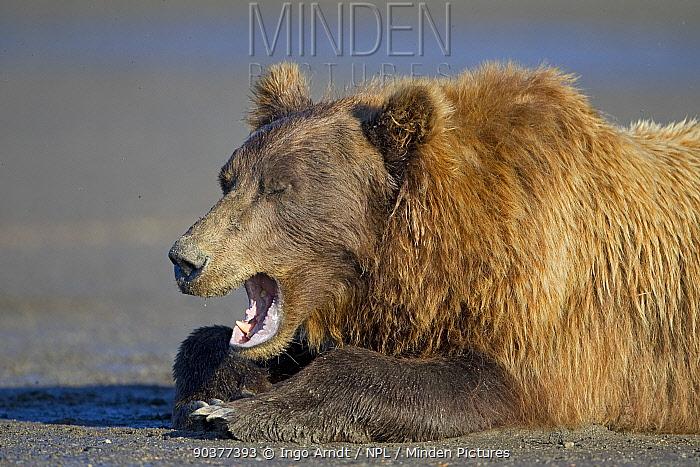 Grizzly Bear (Ursus arctos horribilis) yawning, Lake Clark National Park, Alaska, USA, August  -  Ingo Arndt/ npl