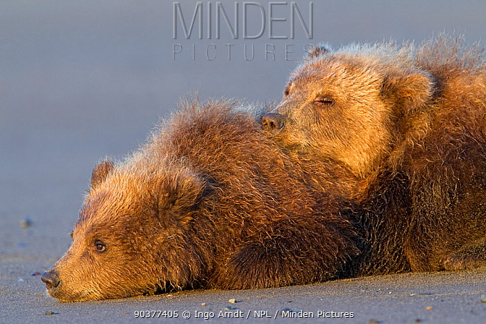 Grizzly Bear (Ursus arctos horribilis) two cubs resting, Lake Clark National Park, Alaska, USA, August  -  Ingo Arndt/ npl
