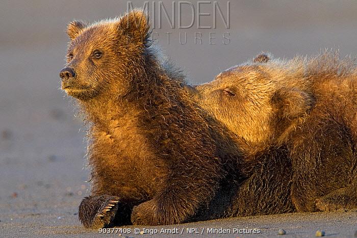 Grizzly Bear (Ursus arctos horribilis) two cubs, Lake Clark National Park, Alaska, USA, August  -  Ingo Arndt/ npl