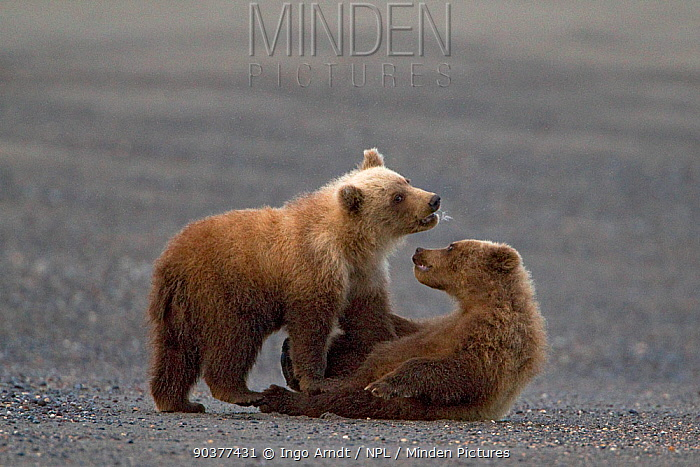 Grizzly Bear (Ursus arctos horribilis) two cubs playing, Lake Clark National Park, Alaska, USA, August  -  Ingo Arndt/ npl