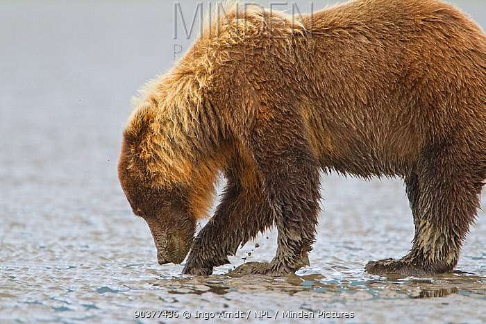 Grizzly Bear (Ursus arctos horribilis) digging for clams on tidal flats, Lake Clark National Park, Alaska, USA, August  -  Ingo Arndt/ npl