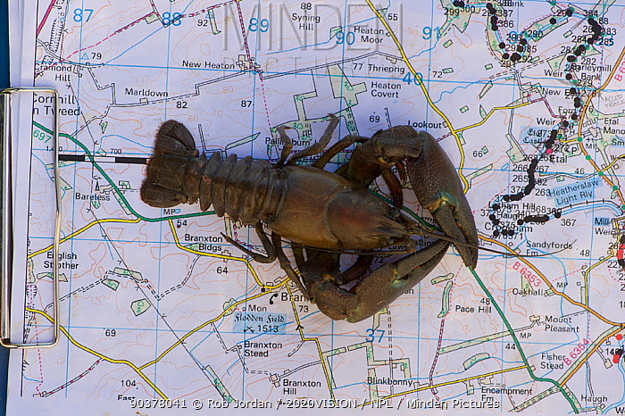 Crayfish Uk Map Minden Pictures stock photos   Signal Crayfish (Pacifastacus