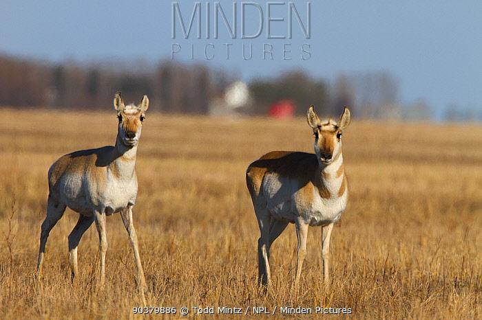 Pronghorn (Antilocapra americana) two females on Canadian prairies, Saskatchewan, Canada, March  -  Todd Mintz/ npl