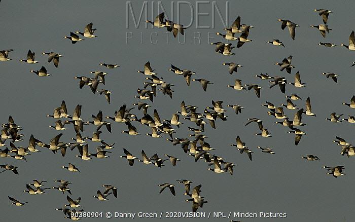 Barnacle Geese (Branta leucopsis) in flight, Caerlaverock WWT, Scotland, Solway, UK, January  -  Danny Green/ 2020V/ npl