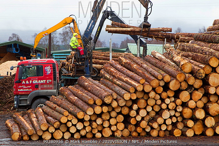 Processing spruce tree trunks at BSW sawmill, Boat of Garten, Inverness-shire, Scotland, UK, February 2012  -  Mark Hamblin/ 2020V/ npl
