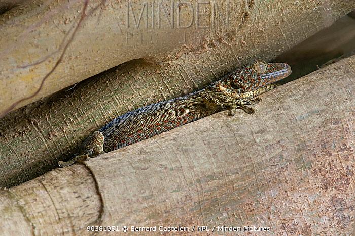 Tokay Gecko (Gekko gecko) Trishna wildlife sanctuary, Tripura, India  -  Bernard Castelein/ npl