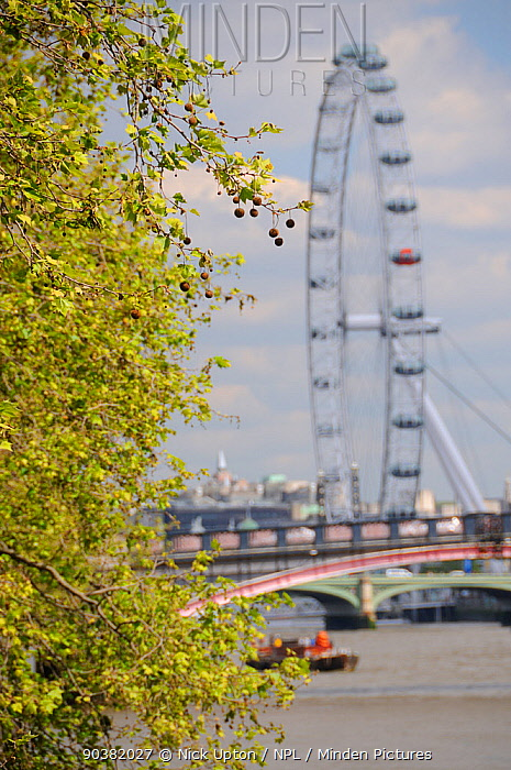London Plane Tree (Platanus x hispanica) with dangling fruits overhanging the River Thames with the London Eye in the background, London, UK, May 2012  -  Nick Upton/ npl
