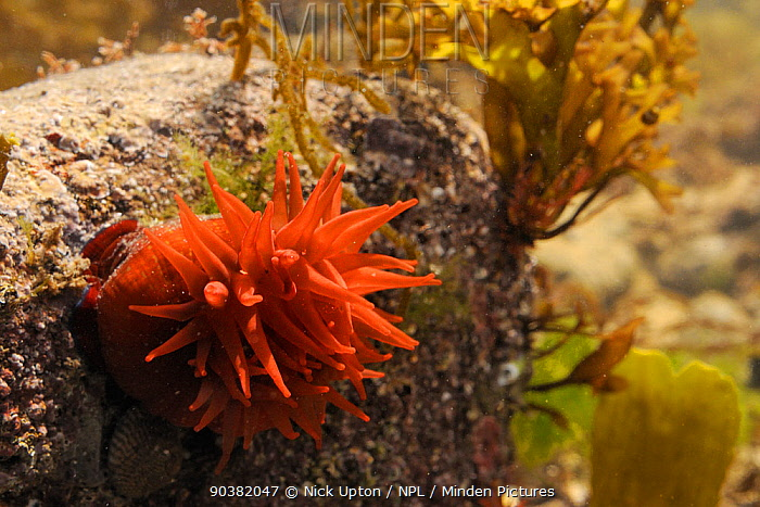 Beadlet anemone (Actinia equina) attached to a boulder in a large rockpool, Crail, Scotland, UK, July  -  Nick Upton/ npl