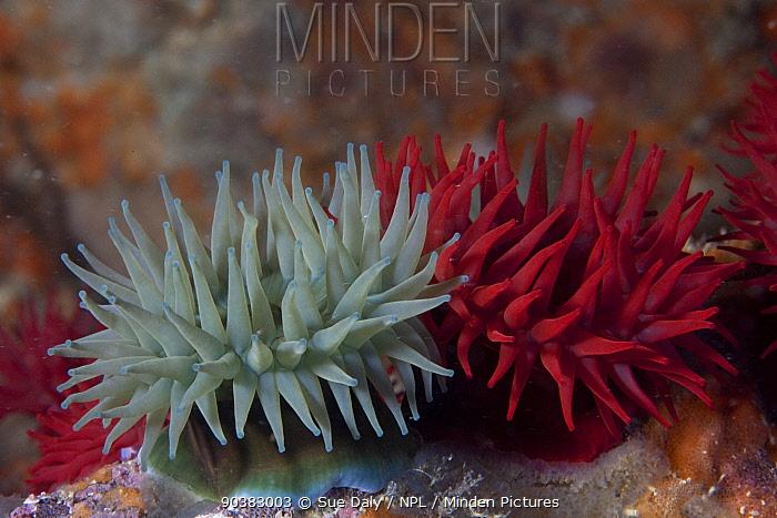 Beadlet sea anemones (Actinia equina) Channel Islands, UK June  -  Sue Daly/ npl